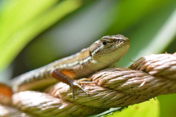 ニホンカナヘビ850